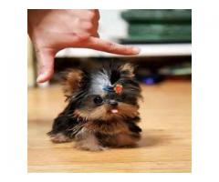 Yorkshire Terrier puppy!