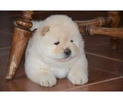 Copii Chow Chow disponibili